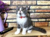 Bicolor Blue&White British Shorthair Yavrumuz Dexter