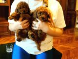 DARK RED TOY POODLE YAVRULARI
