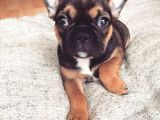 "Nadir bulunan ""Red Sable Tan"" Dişi French Bulldog"