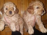 Veteriner teknikerinden toy poodle yavru