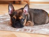 Red sable tan dişi french bulldog
