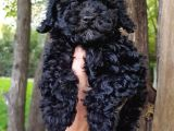 Veteriner teknikerinden Black toy poodle
