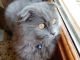 Scottish fold longhair