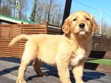 GOLDEN RETRIEVER YAVRULARI Kalıte Burda