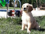 SATILIK A KALITE GOLDEN RETRIEVER YAVRULARI