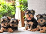 SATILIK TEA CUP YORKSHIRE TERRIER YAVRULARIMIZ