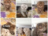 Scottishfold ve British bebekler