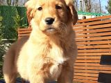 A KALİTE GOLDEN RETRIEVER YAVRULARI