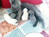 Anne British shorthair Baba scottish fold yavruları