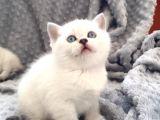 scottish fold silver şecereli  ve şeceresiz  yavru