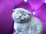 Safkan Scottish Fold Duman