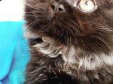 British longhair  ve siyam kedisi erkek sahiplendirilecek sakarya