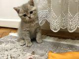 2 aylık british oyuncu bir kedi.