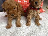 Red Toy Poodle Irk Garantili Yavrular