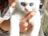 British Shorthair sağlıklı ve mavi gözlü erkek beyaz yavrumuz