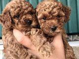 Red Ve  Siyah Dişi Erkek Toy Poodle Yavrular