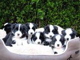 Dünyanın en akıllı köpeği border collie yavruları