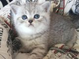 Safkan ve orijinal Silver Tabby&Blue Point