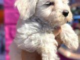 Anne altından dişi ve erkek Maltese Terrier yavrularımız