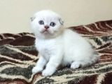 A Kalite Point Safkan Scottish fold yavrular