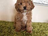 A kalite toy poodle yavrularımız orjinal 3 kg olucak
