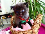 2 Aylık Safkan Siyah British Shorthair Dişi Yavrumuz