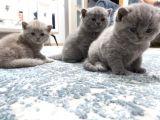 1aylık scotish fold bebekler