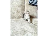 Eşsiz güzellikte blue tabby british shorthair yavru