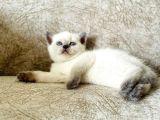 Eşsiz güzellikte blue point british shorthair yavru