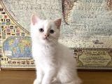 Beyaz British Shorthair Erkek Yavrum
