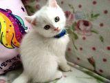 Nadir bulunan beyaz renk scottish fold (sıfır kulak)ve Scottish straight erkek yavru kediler