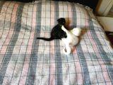 Scottish fold ve Scottish straight yavru kediler. Sıfır kulak yavrular.