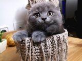 Top kafa Scotish fold blue yavrumuz