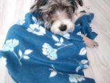 6 aylik dişi Yorkshire Terrier