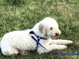 Poodle-white terrier kırması oğluma eş arıyorum