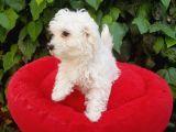 70 günlük shoow kalite maltese terrier yavrular
