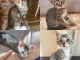 yavru erkek 4 kardeş kedi sevecen ömürlük bir aile arıyor