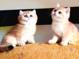 SafKan British Sorthair Golden Yavruları