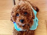 Red Brown Toy Poodle 4 aylık