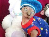 Safkan Canada Sphynx 13 Mart Doğumlu