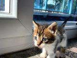 bir buçuk aylık dişi tekir kedi