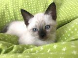 2 aylık yavru erkek siyam kedisi