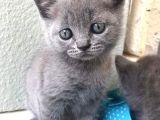 2 aylık british shorthair yavrularımız