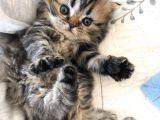 2 adet iran kedisi dişi