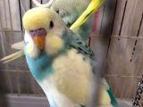 Ev üretimi konuşturmalık yavru, damızlık ve çift her renk muhabbet kuşlar