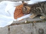 yavru sokak kedisi acil sahiplenmeyi bekliyor
