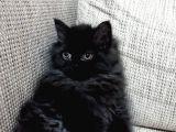 Safkan İran kedisi 10 aylık disi ve erkek.