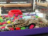 Küpeli yılan