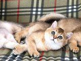 British yavrular golden ny12 erkek ve dişi ay25