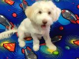 Sevimli Terrier Maltese yavrumuz yuvasını arıyor